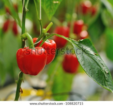 Red sweet peppers growing in the garden - stock photo