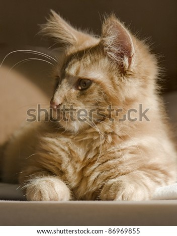 red tabby Maine Coon kitten resting on a couch - stock photo