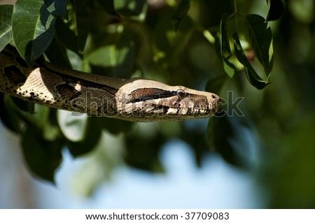 Red Tail Boa - stock photo