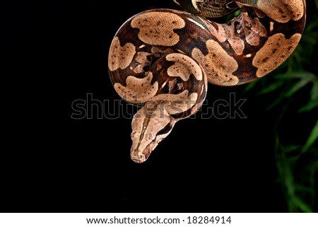 Red Tail Boa (Boa constrictor constrictor) hanging from a tree branch.