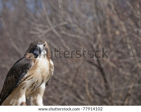 Red Tail Hawk (Buteo jamaicensis) wide spread throughout the USA. Solitary hunts from a perch and often seen perched on poles or trees along roads or fields. - stock photo