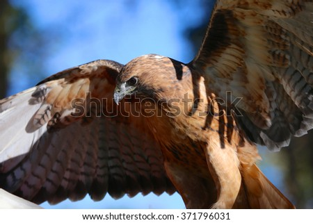 Red Tail Hawk flapping wings - stock photo