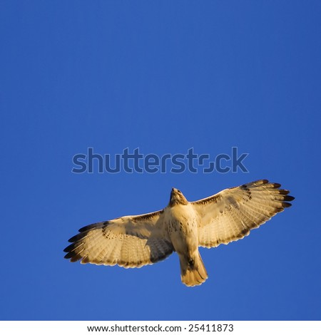 Red tail hawk in the sunrise light - stock photo