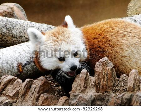 Red Tail Panda - stock photo