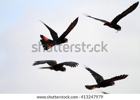 Red-tailed Black Cockatoo (Calyptorhynchus banksii) flocks in Cairns, Australia - stock photo