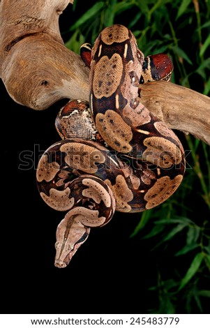Red-Tailed Boa (Boa constrictor constrictor) hanging from a tree branch.