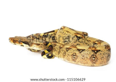 Red Tailed Boa on a white background. - stock photo