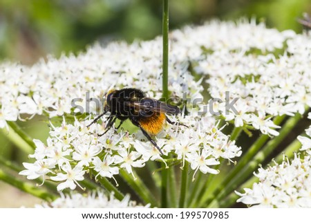 Red Tailed Bumble Bee. (Bombus lapidarius) sat on cow parsley flower - stock photo