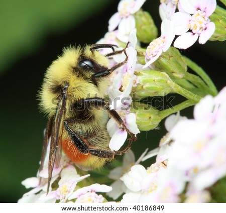 Red-tailed Bumble Bee - Bombus ternarius on small flowers. - stock photo