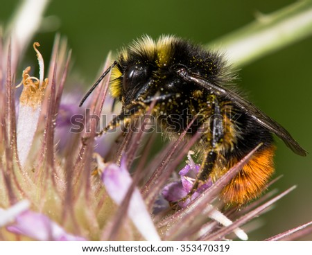 Red-tailed bumblebee (Bombus lapidarius) male nectaring on thistle. A male bee feeding on spear thistle in late summer