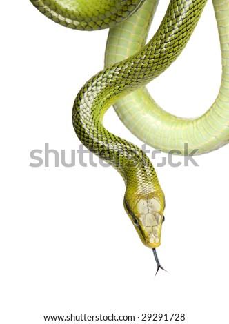 Red-tailed Green Ratsnake - Gonyosoma oxycephalum  in front of a white background - stock photo