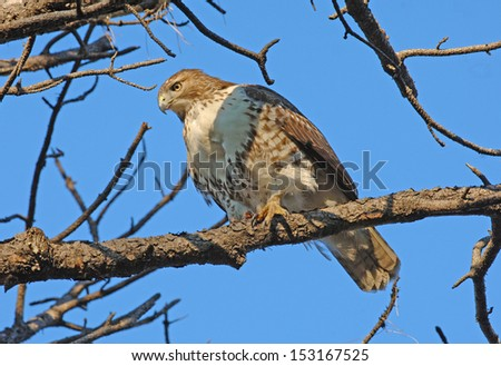 Red Tailed-Hawk - stock photo