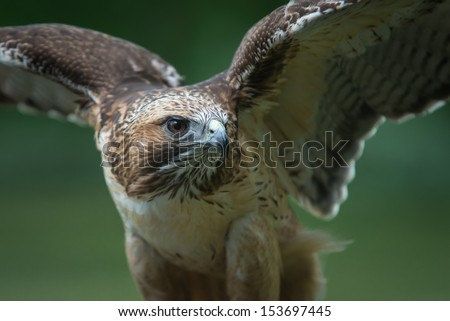 Red tailed hawk - stock photo