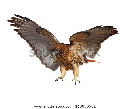Red-tailed Hawk (Buteo jamaicensis) bird isolated on white background - stock photo