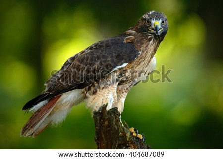 Red-tailed Hawk, Buteo jamaicensis, bird of prey portrait with open bill with blurred habitat in background, green forest, USA