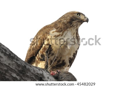 Red Tailed Hawk: Buteo jamaicensis. Isolated on a white background. Photographed in the Central Park, Manhattan after a recent kill, seen feeding on it here - stock photo