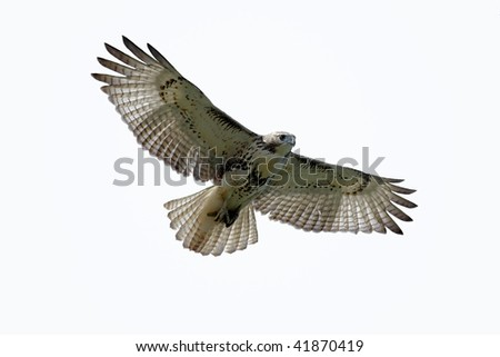 Red-tailed Hawk (buteo jamaicensis) isolated on white - stock photo