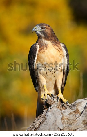Red-tailed hawk (Buteo jamaicensis) sitting on a stump - stock photo