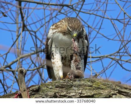 Red-tailed Hawk Feeding On Marsh Rat - stock photo