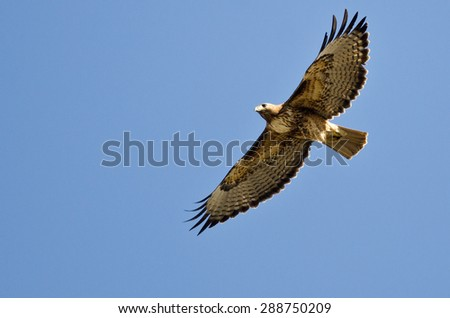 Red-Tailed Hawk Flying in a Blue Sky - stock photo