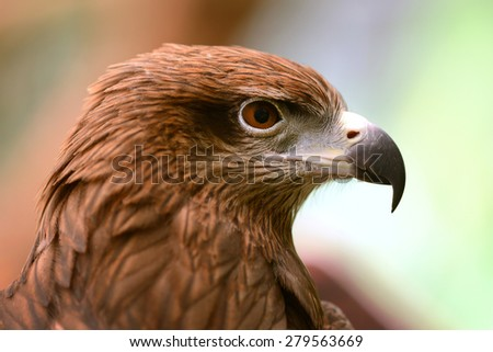 Red Tailed Hawk head and eye close-up - stock photo