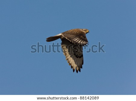 Red Tailed Hawk in Flight - stock photo