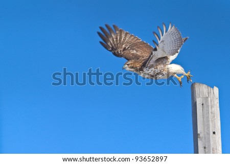 Red-tailed hawk in flight, chasing a prey.  Latin name - Buteo jamaicensis. Copy space for additions. - stock photo