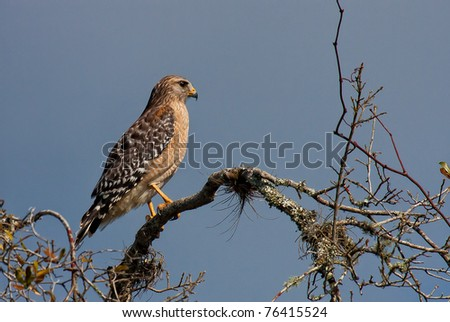 Red tailed hawk in profile perched on branch - stock photo