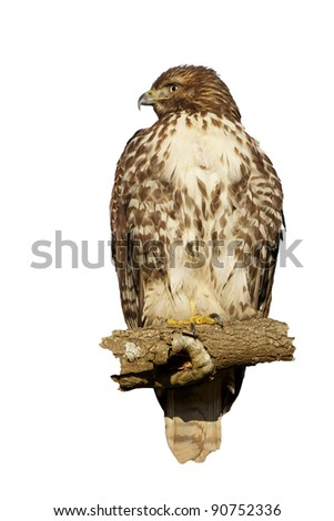 Red-Tailed Hawk Isolated on White - stock photo