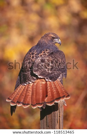 Red tailed hawk on fence post - stock photo