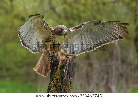 Red-tailed hawk on tree stump. An elegant red-tailed hawk is seen having just alighted on a tree stump. - stock photo