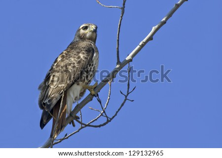 Red-tailed Hawk perched on a branch.