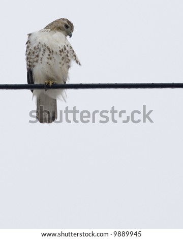 Red-tailed hawk perched on a wire. - stock photo