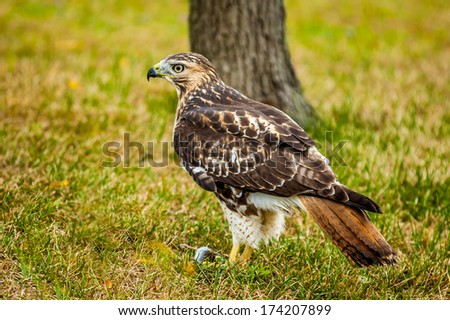 Red-tailed Hawk perched on the ground. - stock photo