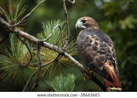 Red-Tailed Hawk perching on a pine tree branch. - stock photo