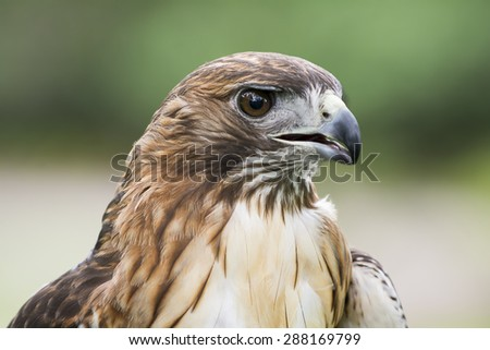 Red-tailed Hawk portrait. The most common hawk in North America.   - stock photo
