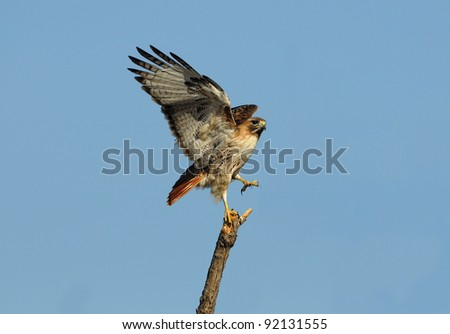 Red tailed hawk posing on a tree - stock photo