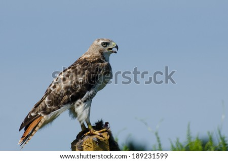 Red-Tailed Hawk Profile - stock photo