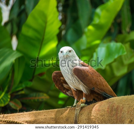 Red-tailed hawk sitting on a stick - stock photo