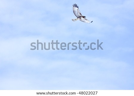 Red-Tailed Hawk soaring. Lots of negative space, soft clouds. Perfect for something with a lot of text. - stock photo