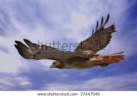 Red Tailed Hawk soaring through the sky in search of prey. - stock photo