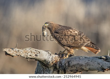 Red-tailed Hawk with a Vole - stock photo