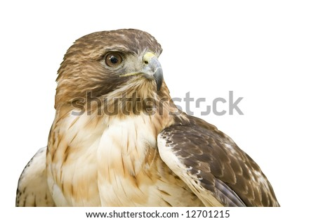 Red-Tailed Hawk with clipping path - stock photo
