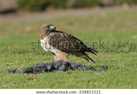 Red-Tailed Hawk with fresh kill - stock photo