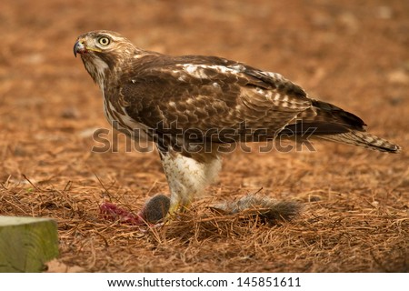 Red-tailed Hawk With Squirrel Prey - stock photo