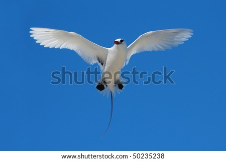Red-tailed Tropicbird hovering over its nest on the Great Barrier Reef - stock photo