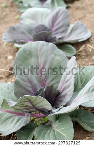 Red tete noir cabbage growing in a garden.