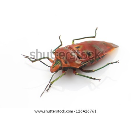 Red the stinkbug isolated in white background - stock photo