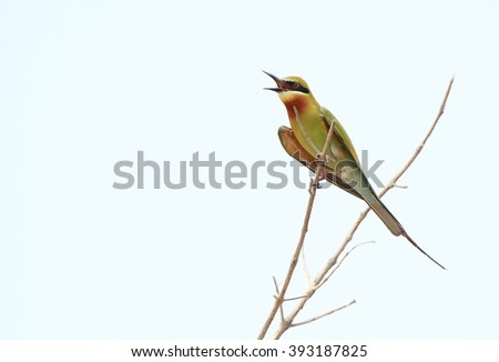 Red-throated Bee-eater by the river