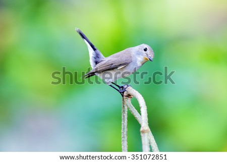 Red-throated Flycatcher (Ficedula albicilla), sitting on a branch